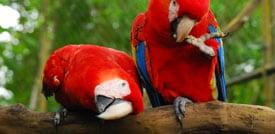scarlet macaws belize
